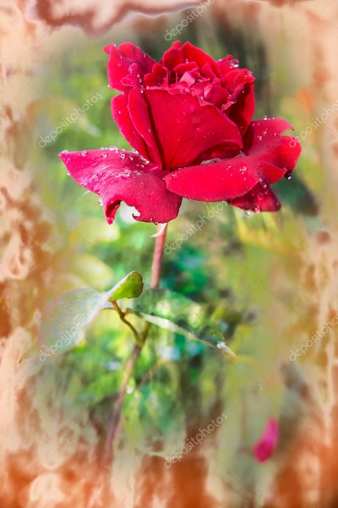 Vivid red rose with drops of dew on the petals