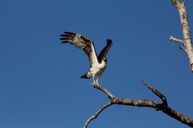 Seahawk at take off