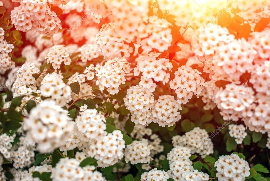 Arbustos Silvestres Con Flores Blancas Arbustos De Flor Blanca
