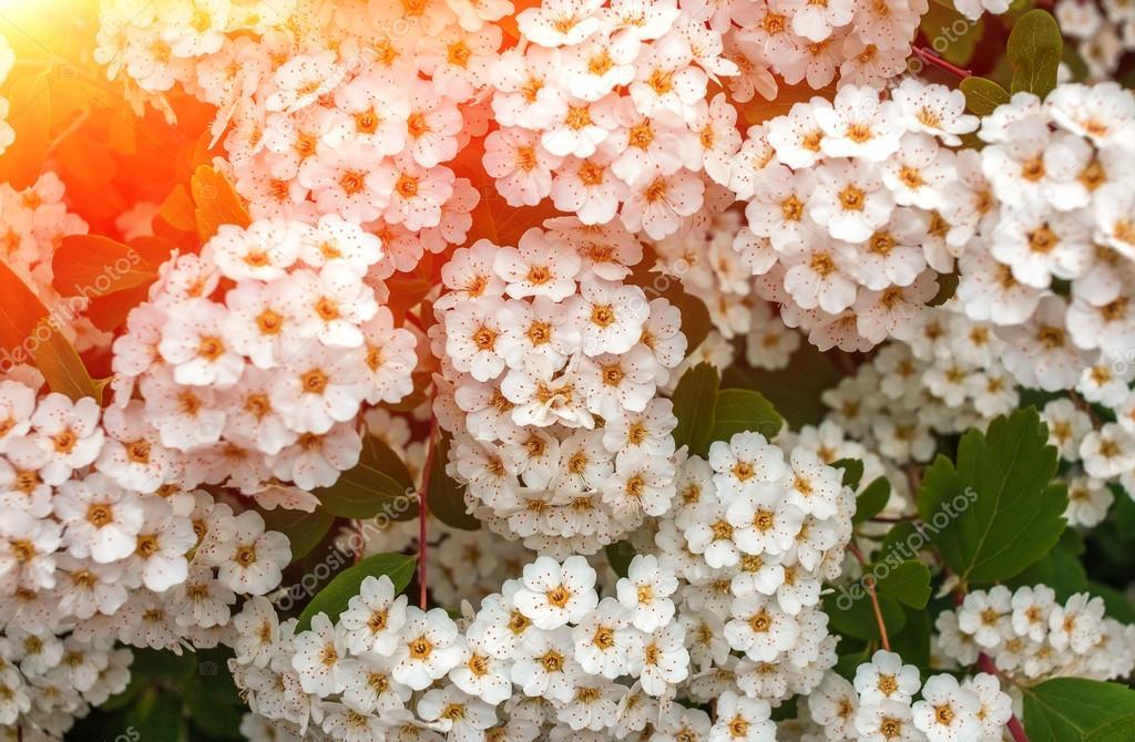 Wild white flower bushes at sunrise stock photo lumppini 123932882 wild white flower bushes at sunrise stock photo mightylinksfo
