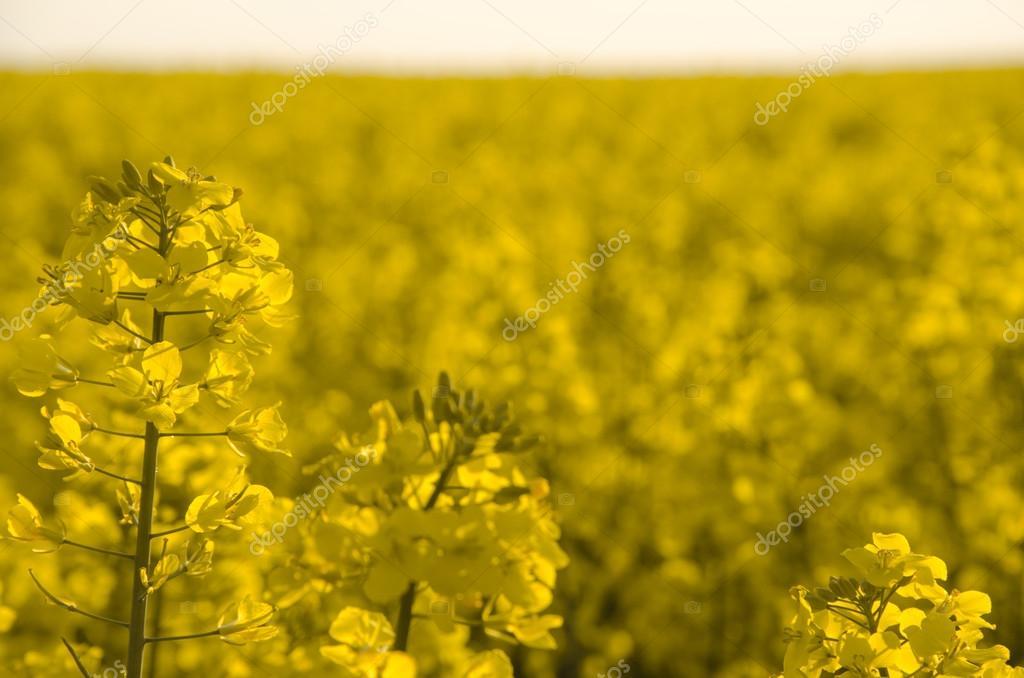 Blommor Av Olja I Raps Fält Stockfotografi Valeriikalantai