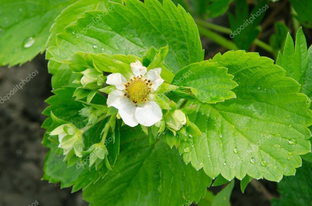 Fleur De Fraisier De Rosee Sur Les Feuilles Vertes Dans Le Jardin