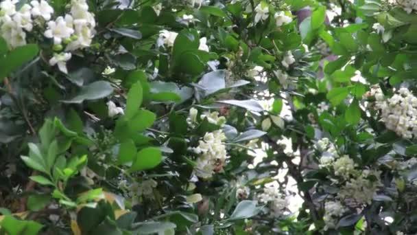 Včelí sběr nektaru a opylování malých bílých květů se zelenými listy