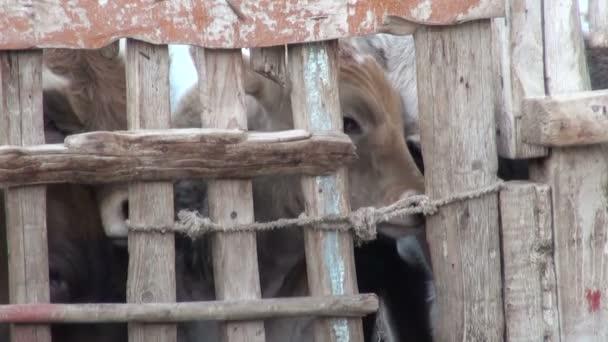 Calves have gathered near a fence