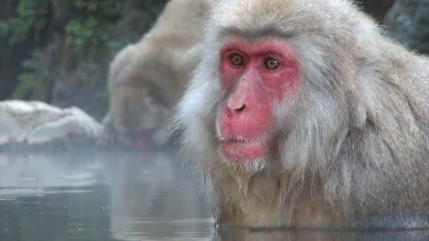 Monkey  relaxing in a warm pool