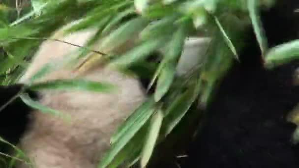 panda bear eats bamboo