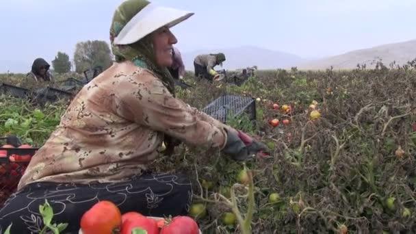 ženy sbírající rajčata