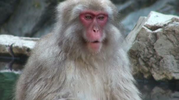 opice se uvolňuje v horký pramen