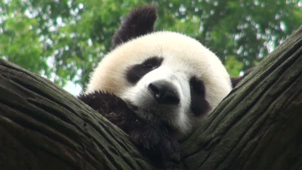 panda sleeps in a tree