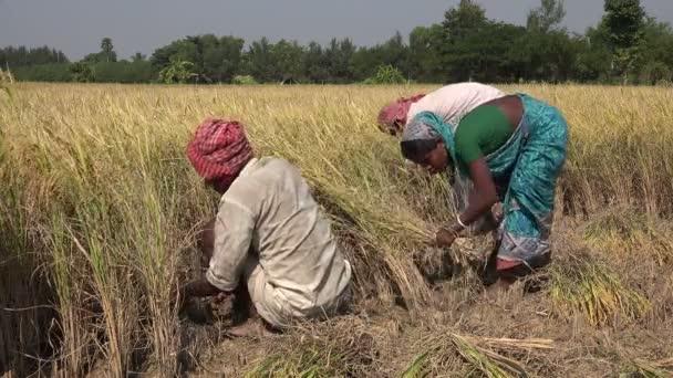 farmer cuts rice plants