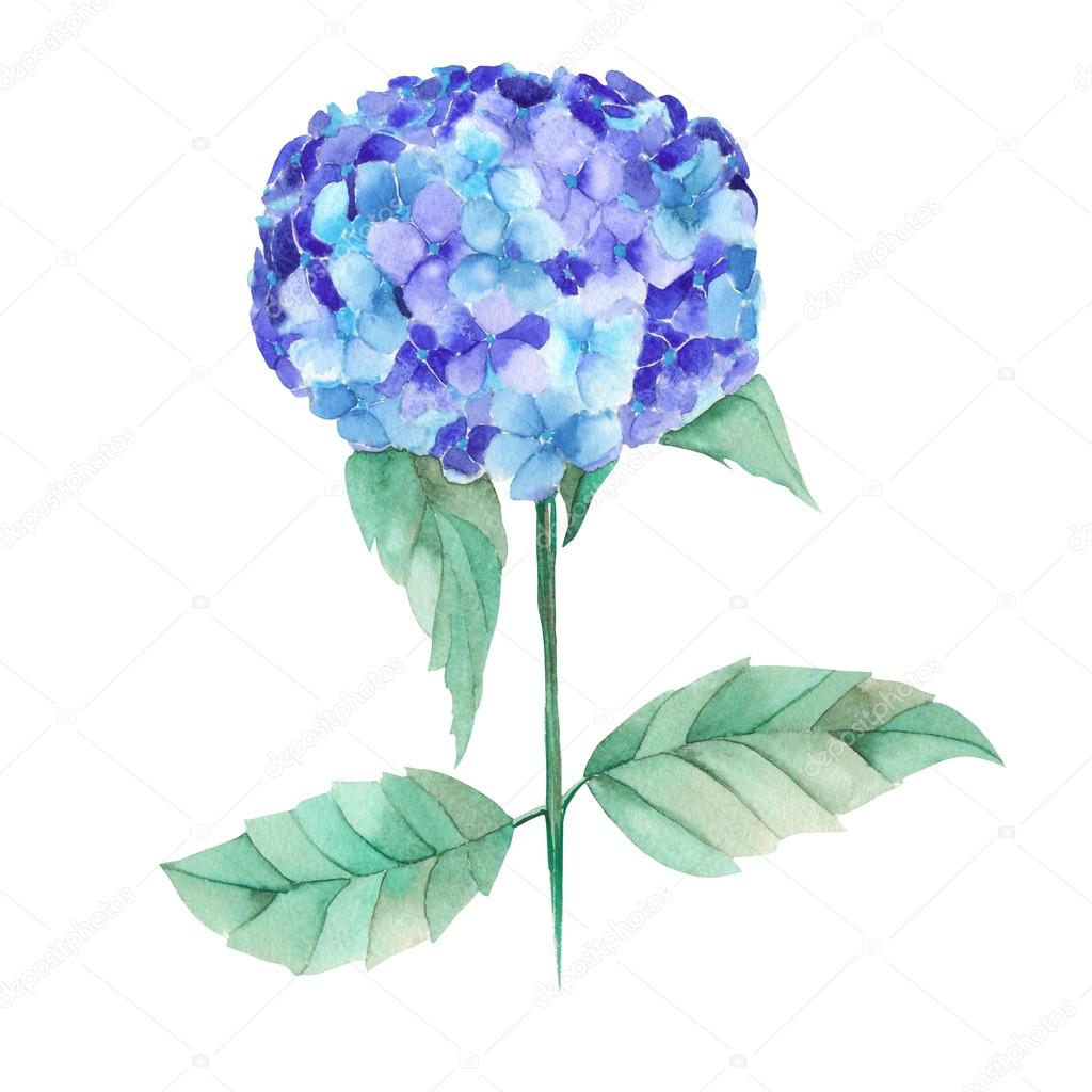 An illustration of the beautiful watercolor blue Hydrangea flowers