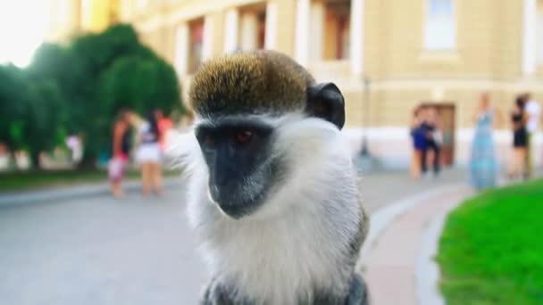 Affe in die Kamera sehen