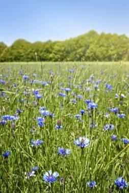 Meadow with cornflowers