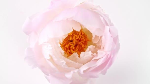 Krásná růžová, kvetoucí pivoňka otevřená na bílém pozadí. Svatební pozadí, Valentýnský koncept. Časová prodleva, časová prodleva