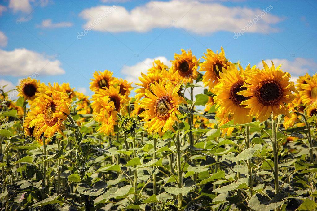 paesaggio con girasoli — Foto Stock © ElenaKiss #120502528