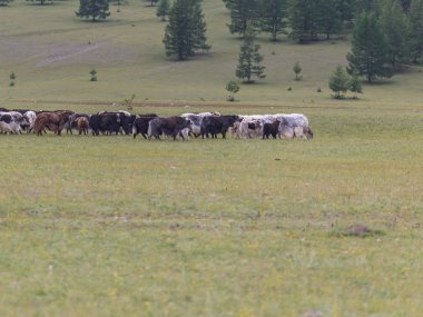 The herd of yaks is grazed in foothills of East Sayan mountains.