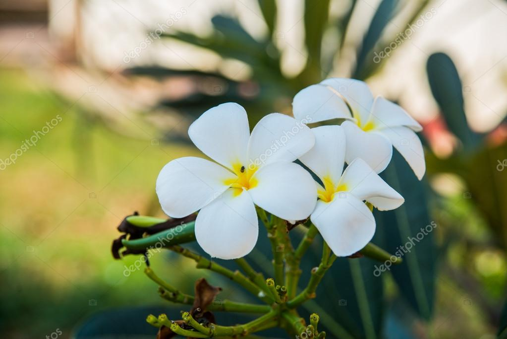 Weiße Blüten mit einem gelben Zentrum. Plumeria — Stockfoto © A1804 ...
