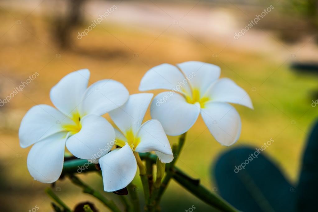 White flowers with a yellow centerumeria stock photo a1804 white flowers with a yellow centerumeria stock photo mightylinksfo
