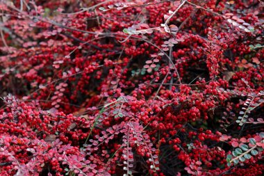 Cotoneaster (Cotoneaster splendens) decorative red berries. Cotoneasters are used ornamentally in shrub borders. Originated from China it makes shiny red fruit in autumn. Fresh garden photography.