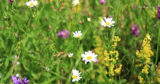Příroda. Tráva a květy na horské louce. Detail
