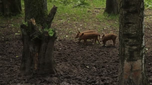 Wild pigs in forest.