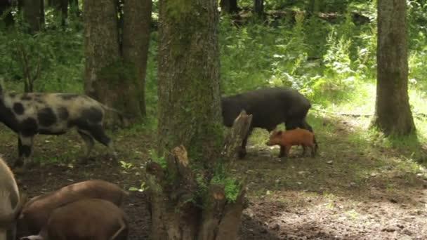 Divoká prasata v lese