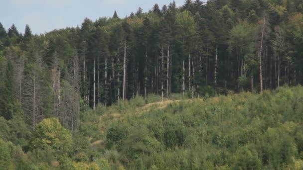 Carpathian mountains. Mountain forest.