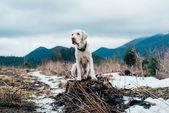 Labrador pes sedí na summitu v horách