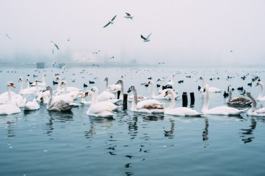swans in a sea in winter. image filtered with grain
