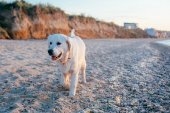Fotografie labrador dog on the beach