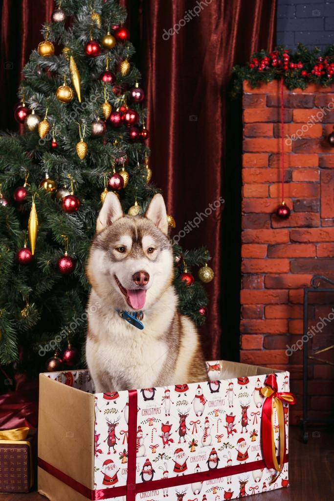 husky dog is christmas gift siberian husky puppy in christmas decorations stock photo