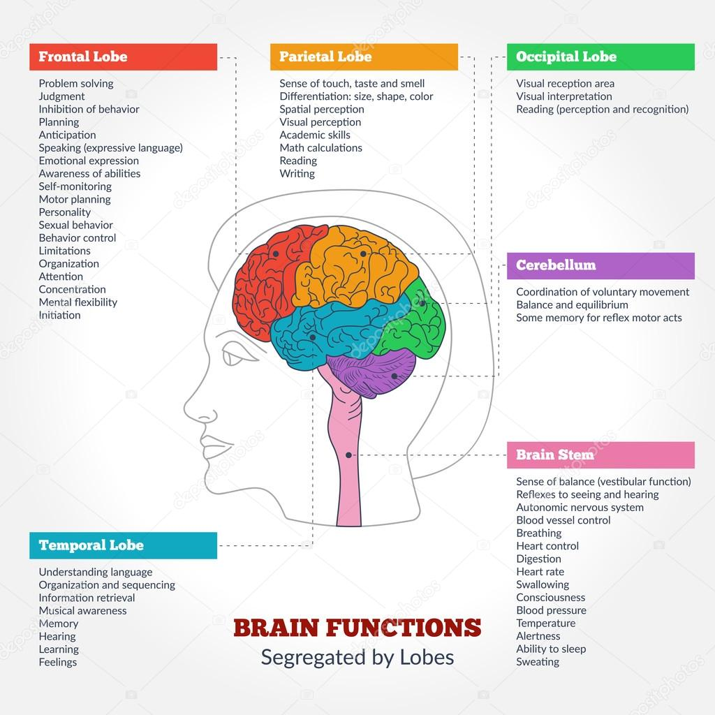 Human Brain Anatomy And Functions Stock Vector Sunshineart