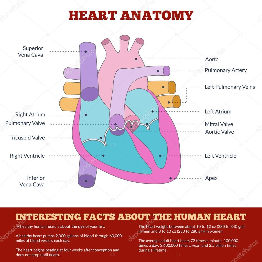 Diagram of human heart anatomy vetores de stock sunshineart diagram of human heart anatomy vetores de stock ccuart Gallery