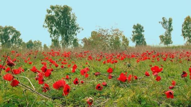 Pole červených sasanek