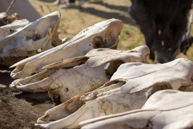 cow skulls lying on animal furs