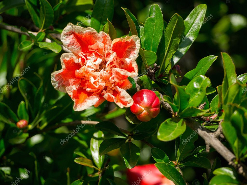 Flowering pomegranate tree in the Roman Forum in Rome, Italy