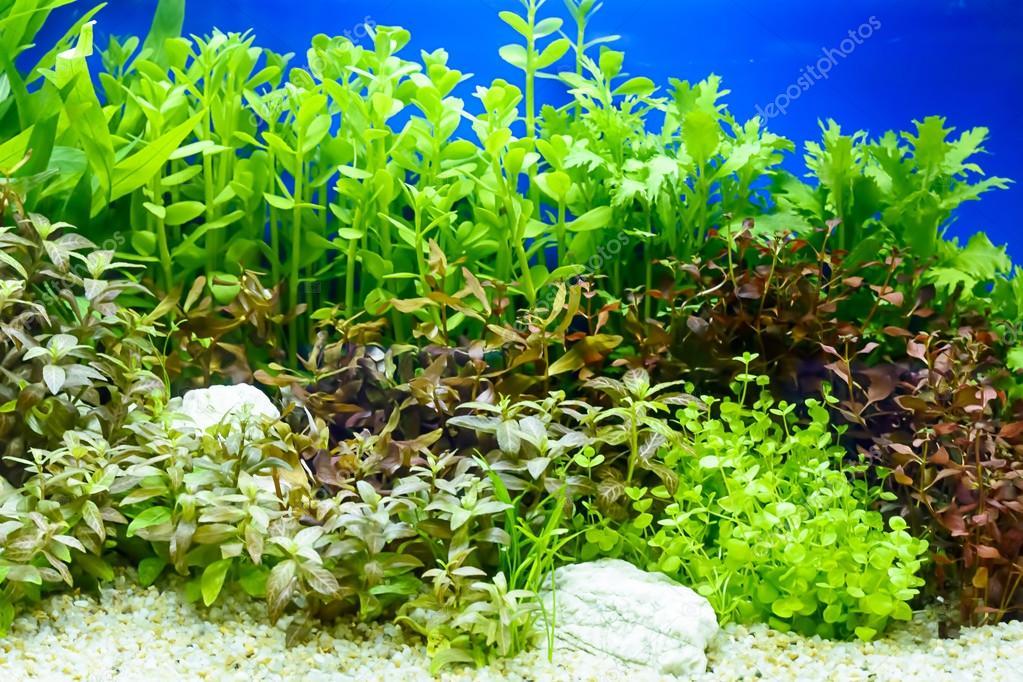 plante aquatique nuisible