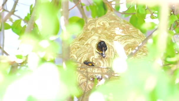 Wasp are flying in-out of the nest to find food and nesting materials.