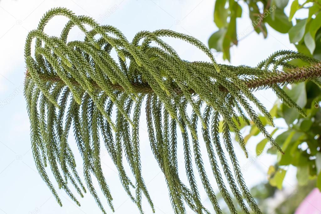 Araucaria heterophylla tree