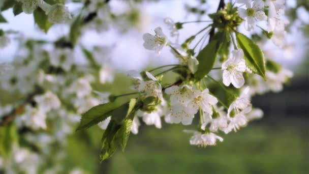 Beautiful spring flowers - Cherry Blossom