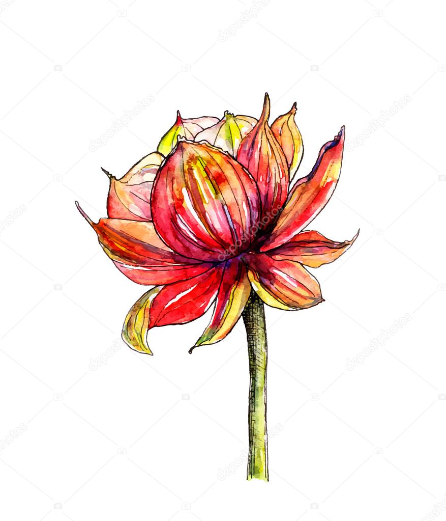 Watercolor Botanical Illustration Of Lotus Flower Stock Vector