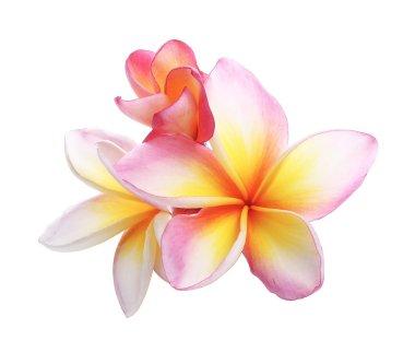 pink bloom frangipani, plumeria flower isolated on white
