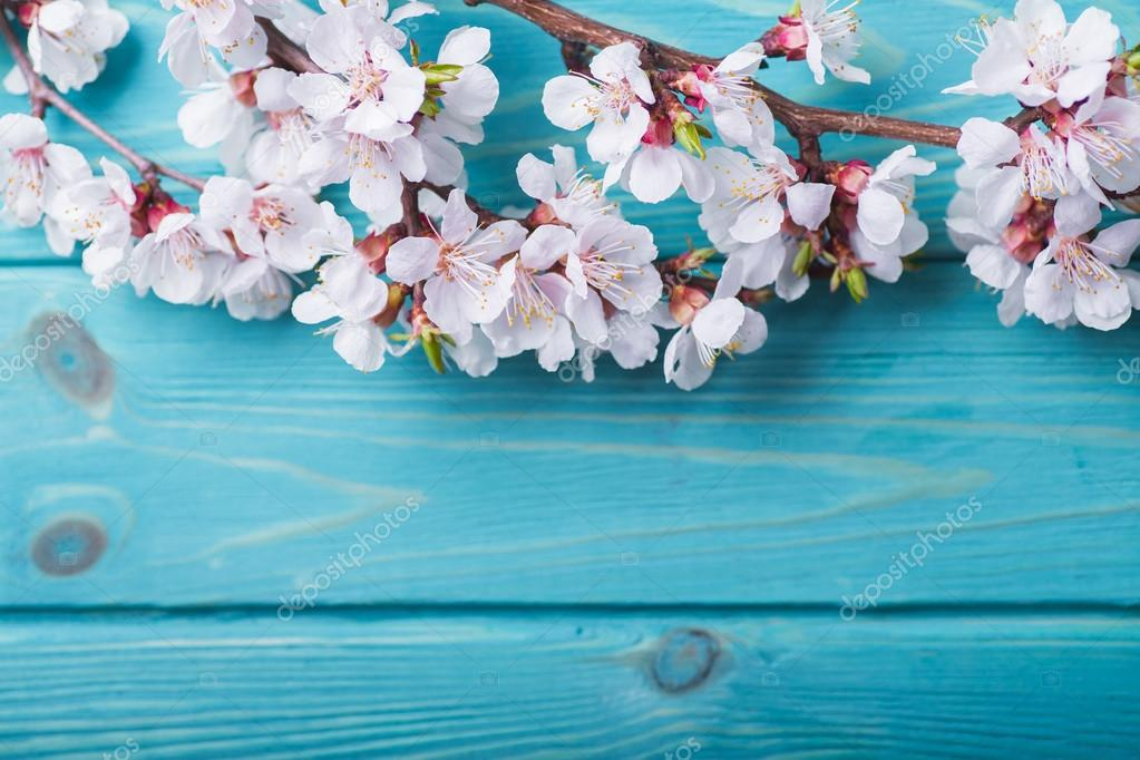 Spring blossom flowers apricot on blue wooden background