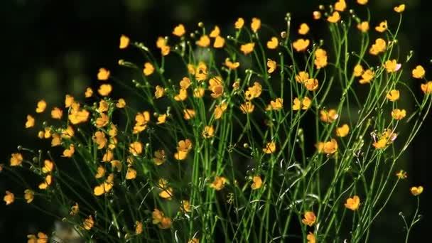 Cultivo De Flores Amarillas Silvestres Videos De Stock C Primus1