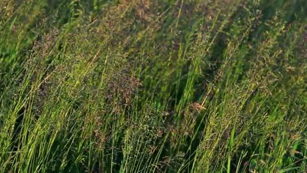 Hohes Gras Mit Blumen Stockvideo Primus1 70286679