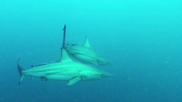 Blacktip cápák csalétek merülés