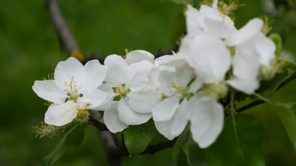 White Blossoming Flowers On Apple Tree Branch Blowing In The Wind