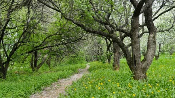 Virágzó Alma-fa kert. Szirmok esik a földre