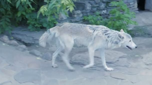 White north wolf howling near human house