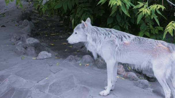Bílý sever vlk člověka domu